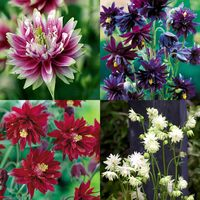 24 Aquilegia Barlow Collection