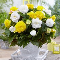 Begonia Fancy Frills Yellow 3/4cm
