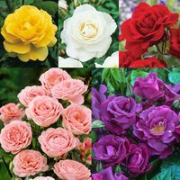 5 Rose Floribunda Collection