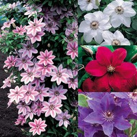 4 Clematis Popular Collection