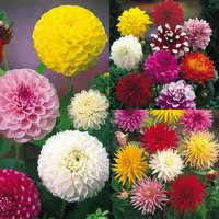 Dahlia Mixed Collection