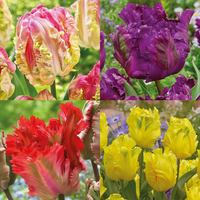 40 Tulip Parrot Collection 11/12cm