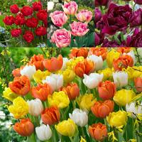 60 Tulip Double Early Collection