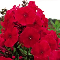 3 Phlox Adessa Red