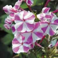3 Phlox Adessa Purple Star