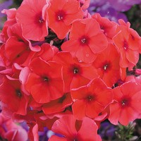 3 Phlox Adessa Orange