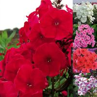 5 Phlox Adessa Collection