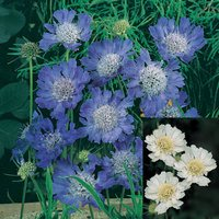 6 Scabiosa Fama Collection