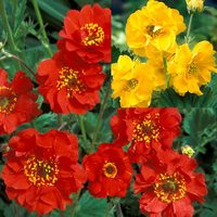 6 Geum Hardy Collection