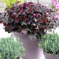 3 Heuchera Palace Purple (Power-Module)