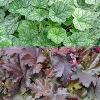 6 Heuchera Collection