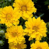 3 Coreopsis grandiflora Early Sunshine