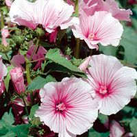 3 Lavatera Blushing Bride
