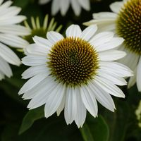 Echinacea Purpurea White (power-module)