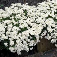 3 Arabis caucasia Little Treasure White