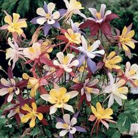 Aquilegia Winky Mix (power-module)