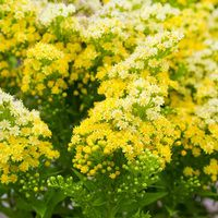3 Solidago Little Lemon