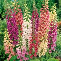 5 Digitalis purpurea Mix