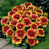Gaillardia Arizona Sun (Power-Module)