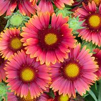 3 Gaillardia grandiflora Arizona Red