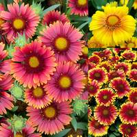 9 Gaillardia grandiflora Arizona Collection