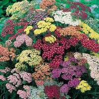 5 Achillea Collorado Mixed