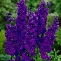 3 Pacific Giant Delphiniums Black Knight