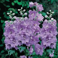 3 Pacific Giant Delphiniums Cameliard