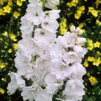 3 Pacific Giant Delphiniums Galahad