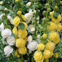 3 Alcea Charter's Double Yellow