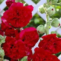 3 Alcea Charter's Double Red