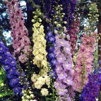 5 Delphinium Pacific Giant Mixed