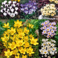 150 Crocus Species Winter Flowering Collection