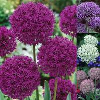 60 Allium Collection 10/12cm