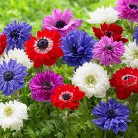 Anemone St Brigid Mixed