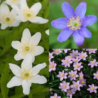 25 Anemone Nemorosa Collection