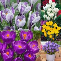 125 Crocus Large Flowering Collection