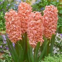 5 Hyacinth Gypsy Queen 14/15cm