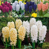 30 Hyacinth Bedding Size Collection 14/15cm