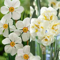 30 Narcissi Fragrant Poeticus Collection