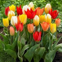 15 Fosteriana Tulips Mixed