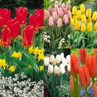 50 Tulip Fosteriana Collection