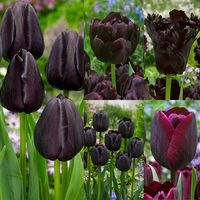 55 Tulip Black Collection