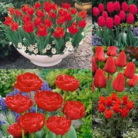 70 Tulip Red Collection