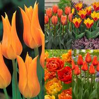 60 Tulip Orange Collection