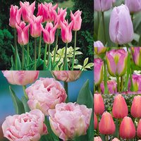 50 Tulip Pink Collection