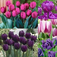 50 Tulip Purple Collection