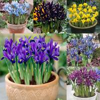 150 Iris Spring Collection