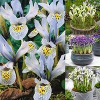 50 Iris Rare Dwarf Collection