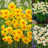 75 Narcissi Tazetta Collection 10/12cm